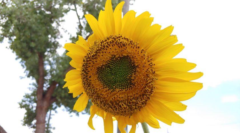 sunflower2website