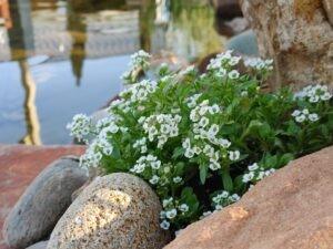Koi Pond flowers